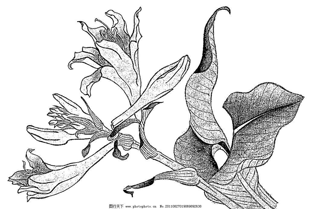 手绘美人蕉 线稿 草本植物 线稿图 手绘线稿 植物 传统文化 绘画书法