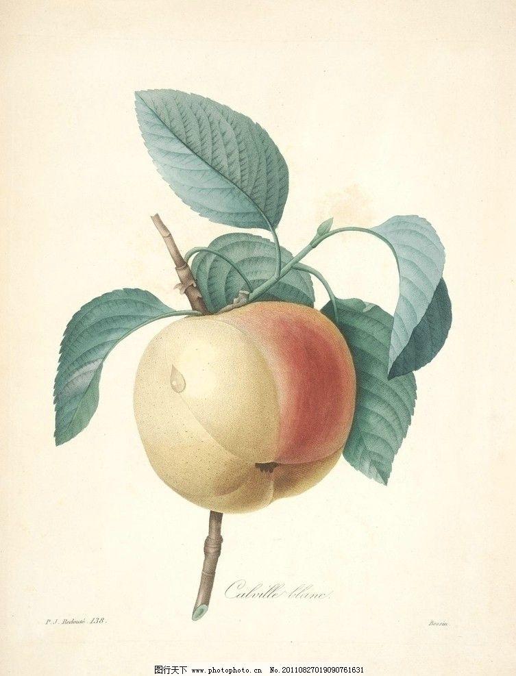 桃子 水果 果子 淡彩 植物 手绘 画 植物圣经 绘画书法 文化艺术 设计