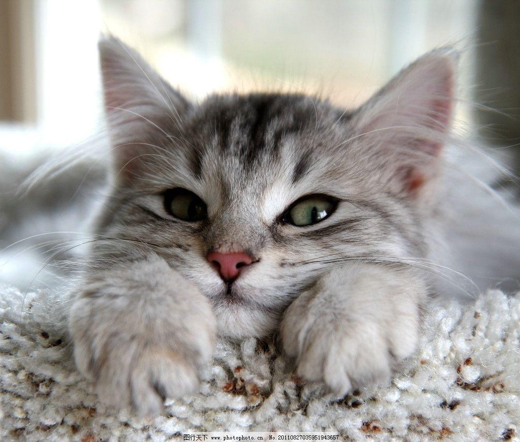 可爱小猫 动物摄影 宠物 猫 小猫 可爱的猫 家猫 猫咪 小猫图片 家禽