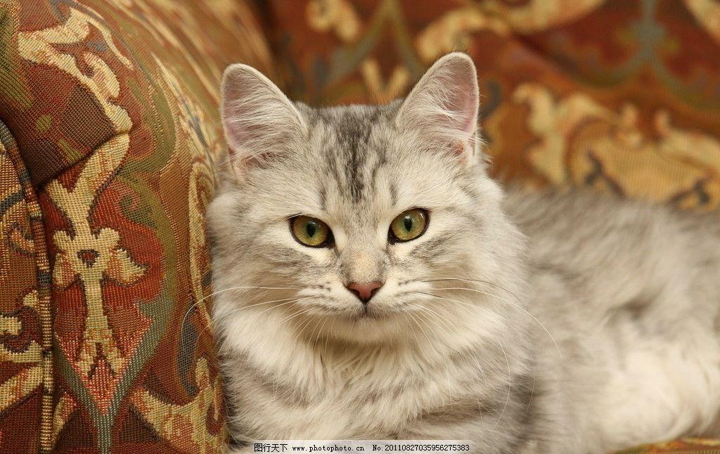 可爱的猫 动物摄影 宠物 猫 小猫 家猫 猫咪 小猫图片 家禽家畜 生物