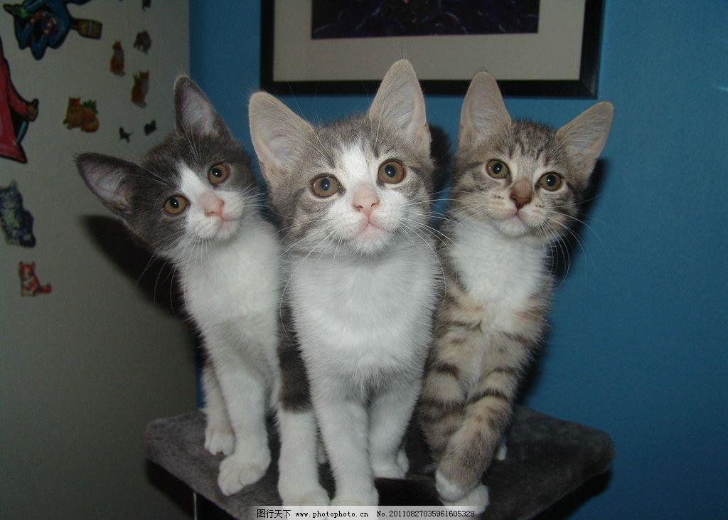 三只小猫 动物摄影 宠物 猫 小猫 可爱的猫 家猫 猫咪 小猫图片 家禽
