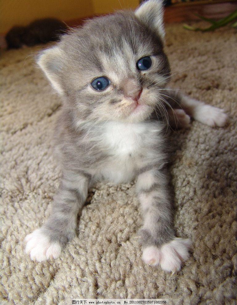 猫咪 动物摄影 宠物 猫 小猫 可爱的猫 家猫 小猫图片 家禽家畜 生物