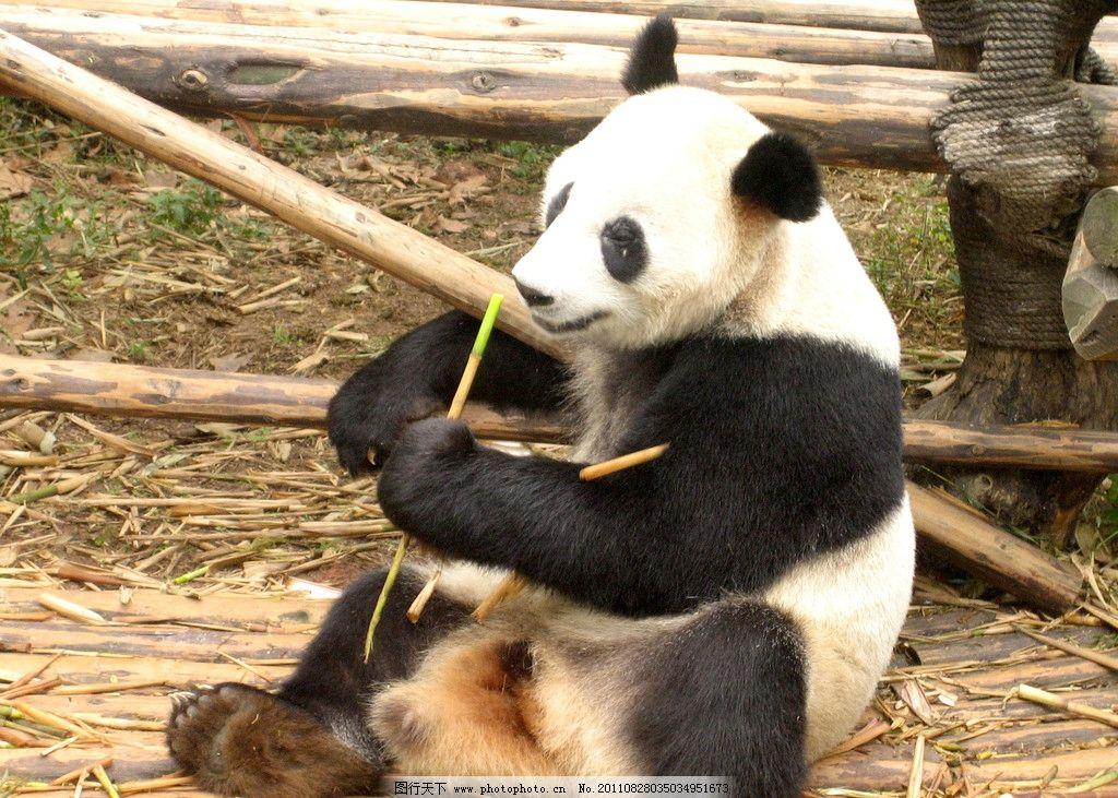 熊猫 动物园 野生动物 生物世界 摄影 180dpi jpg