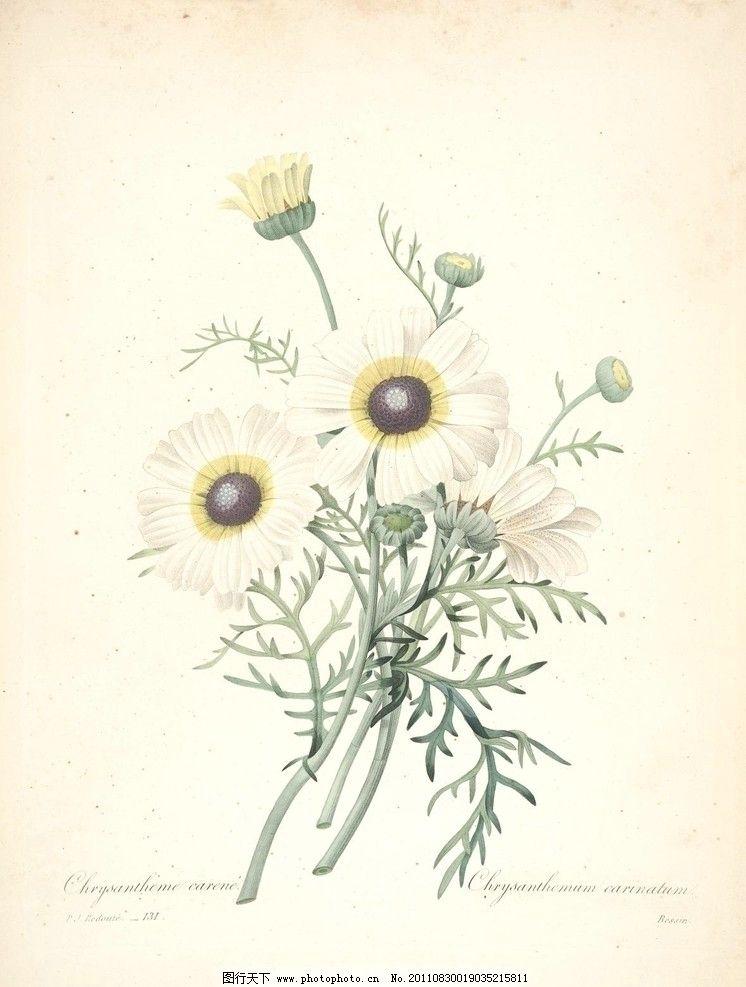 小白菊 菊 花 植物 图谱 手绘 淡彩 植物圣经 绘画书法 文化艺术 设计