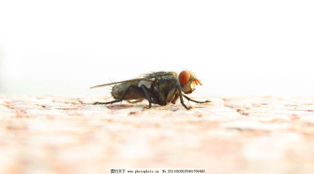 苍蝇 高清 微距 昆虫 生物世界 摄影 180dpi jpg