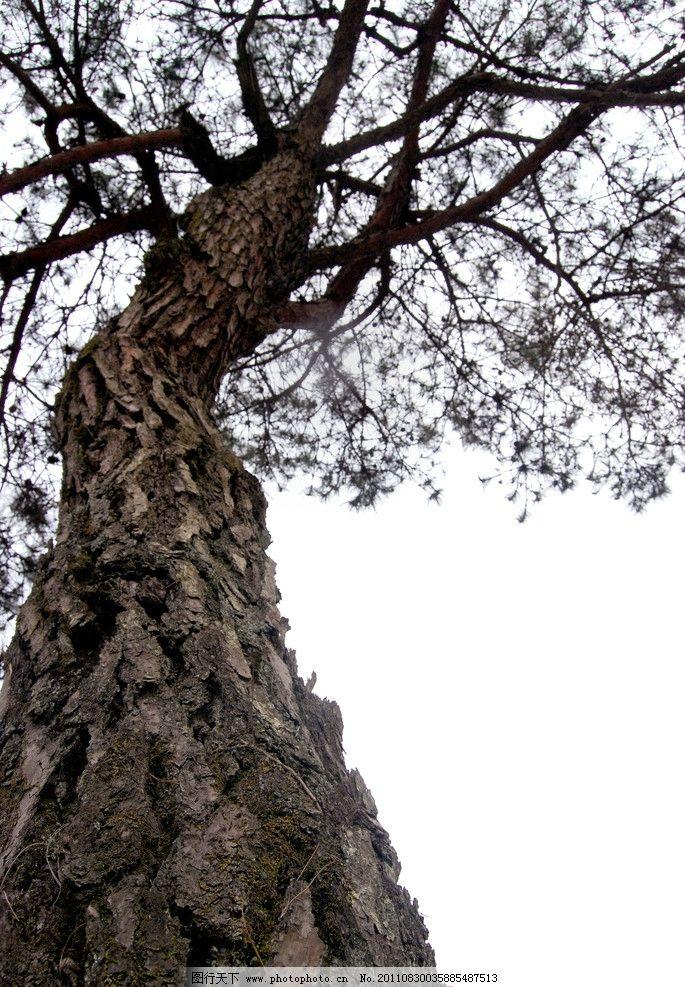 松树 松枝 松针 松皮 大树 树木 树干 树木树叶 生物世界 摄影 300dpi