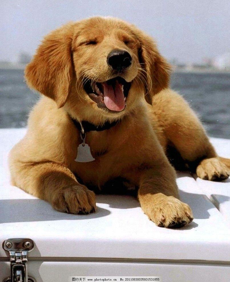 懒懒的小金毛猎犬 懒懒的 小金毛猎犬 可爱 黄色 大海 室外 可爱动物