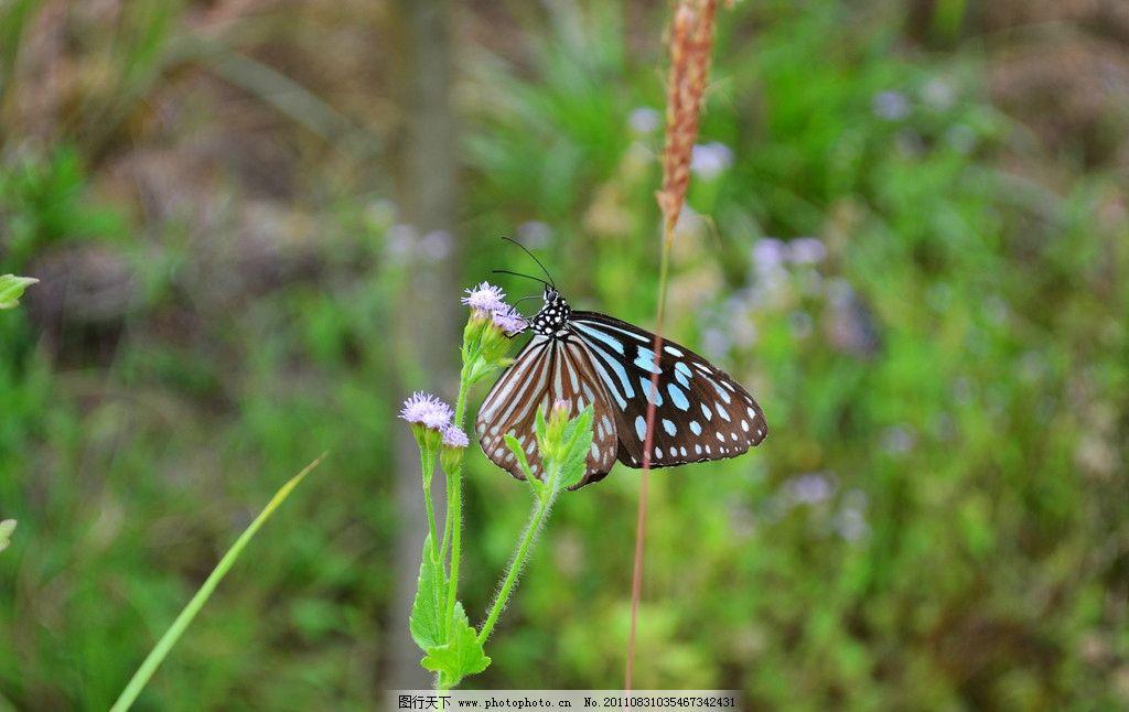 花蝴蝶 蝴蝶 近照 微距 特写 小花 蒲公英 紫色 绿色 绿叶 叶子 小草