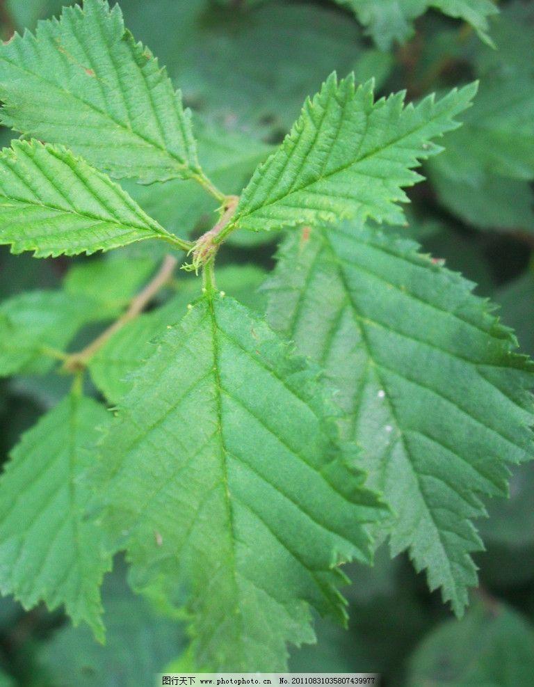 叶子 绿色 树枝 生长 树木树叶 生物世界 摄影 96dpi jpg