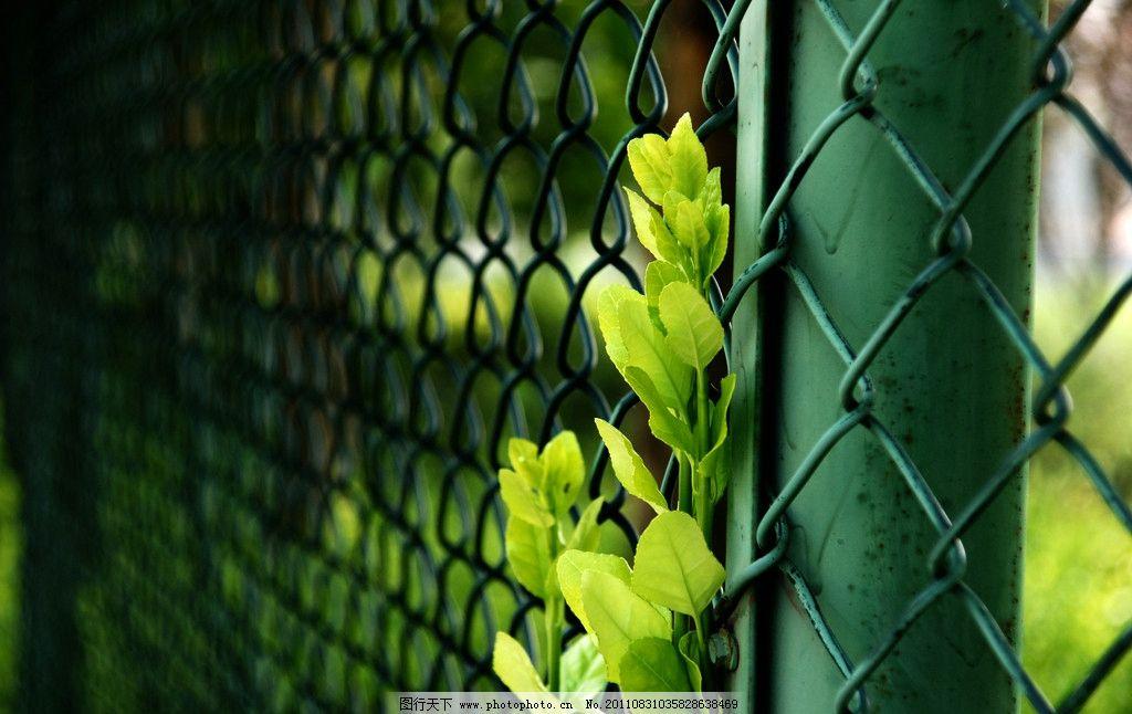 冬青枝 嫩绿 护网 操场边 对比 高清 树木树叶 生物世界 摄影 72dpi