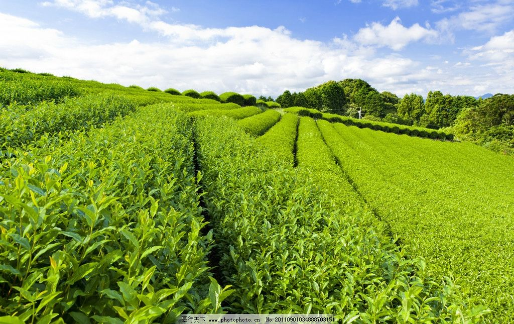 茶海 茶 茶素材 茶叶 蓝天 白云 茶树 茶景 绿茶 茶广告 茶文化 风景