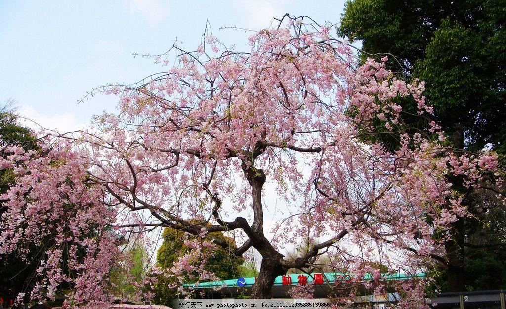樱花美景 樱花 樱花树 树木 日本 公园 园林 树丛 树木树叶 生物世界
