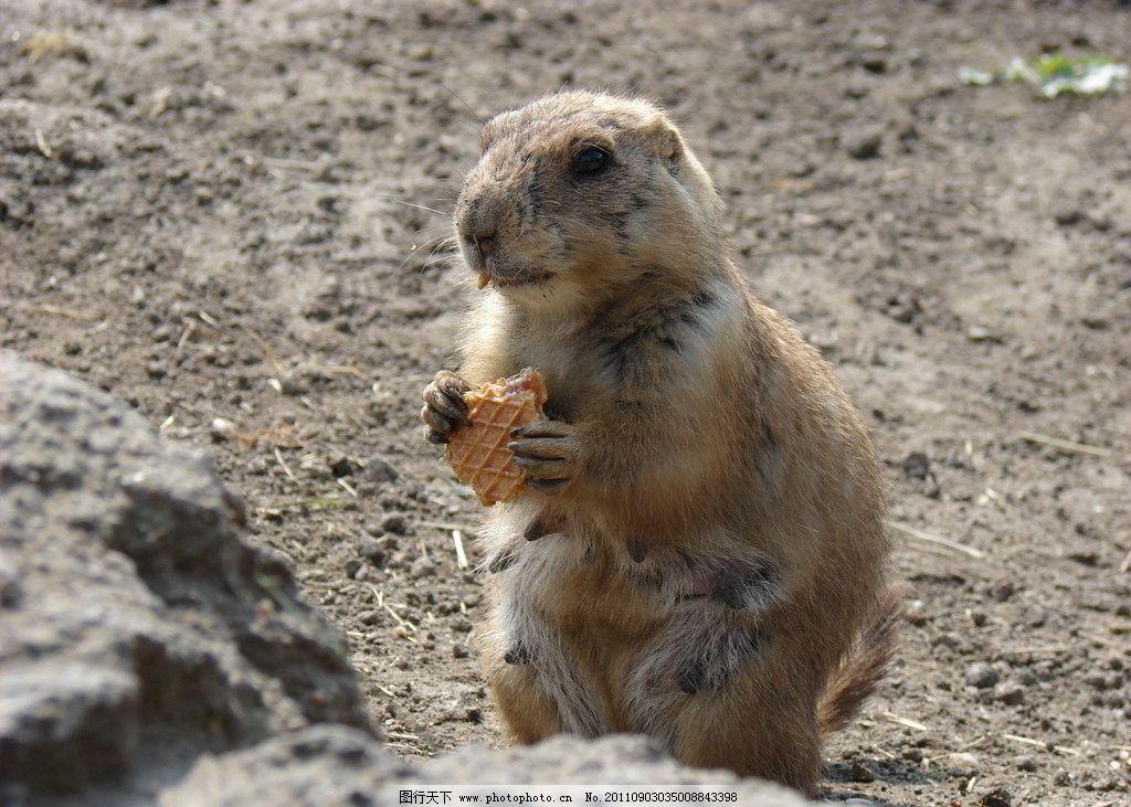 雌土拨鼠 母土拨鼠 鼠 鼠类 动物 生物 动物世界 生物世界 野生动物