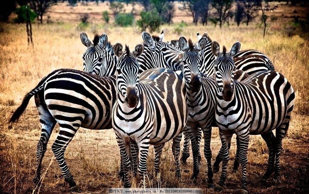 斑马 野生动物 一群斑马 非洲草原 生物世界 摄影 72dpi jpg