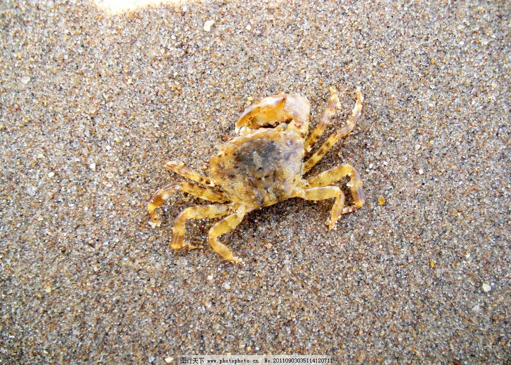 大连棒槌岛海边螃蟹