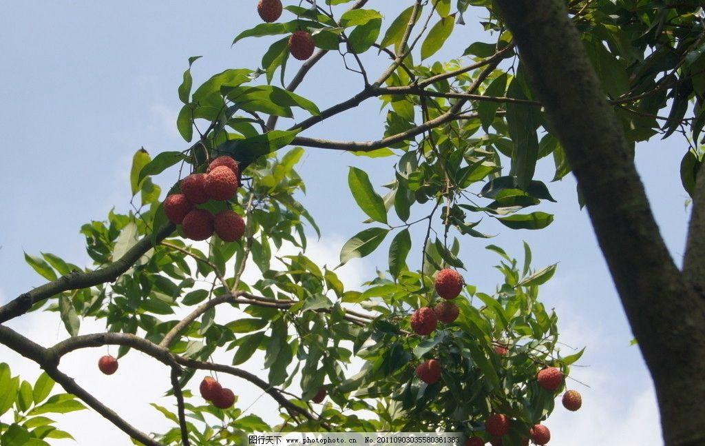 荔枝 丹荔 丽枝 离枝 火山荔 勒荔 叶子 荔支 绿叶 水果 荔枝果园