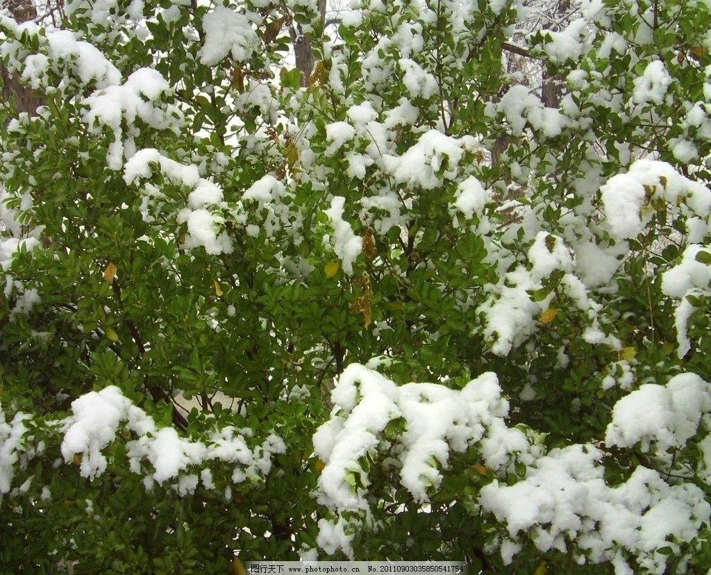 雪景 绿叶 白雪 冬天 雪树 摄影