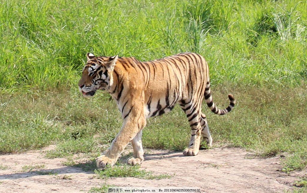 老虎 东北虎 旅游 摄影 背景 野生动物 生物世界 72dpi jpg