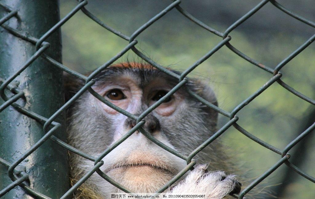 猴子 笼子 渴望 眼神 自由 饥饿 寂寞 野生动物 生物世界 摄影 72dpi