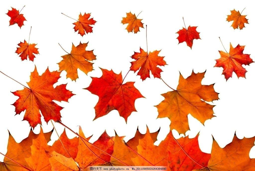 树叶主题,落叶素材图片素材秋天体育枫叶枫叶v树叶建筑设计主题图片