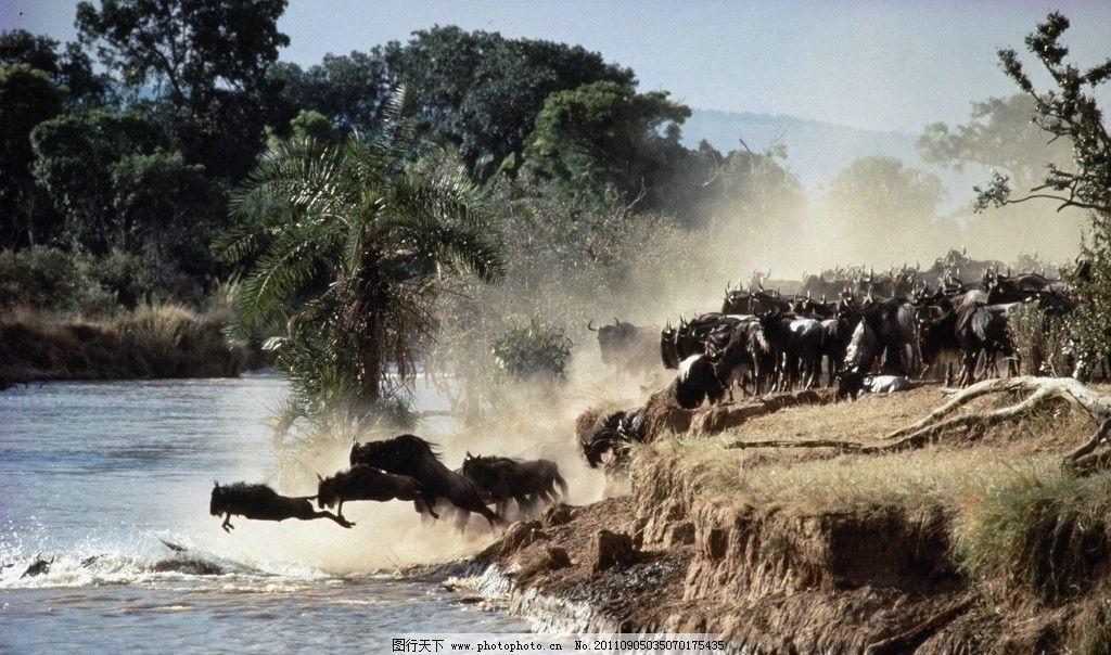 牛群 牦牛 野生动物 河流 奔腾 原始森林 烟雾 生物世界 摄影 300dpi