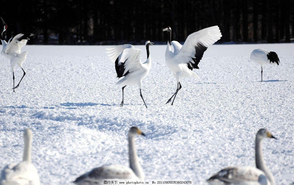 丹顶鹤 白鹤 仙鹤 展翅 鹤舞 鸟类 生物世界 摄影 240dpi jpg