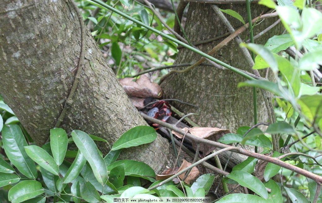 螃蟹 树蟹 海南 热带雨林 动物园 摄影