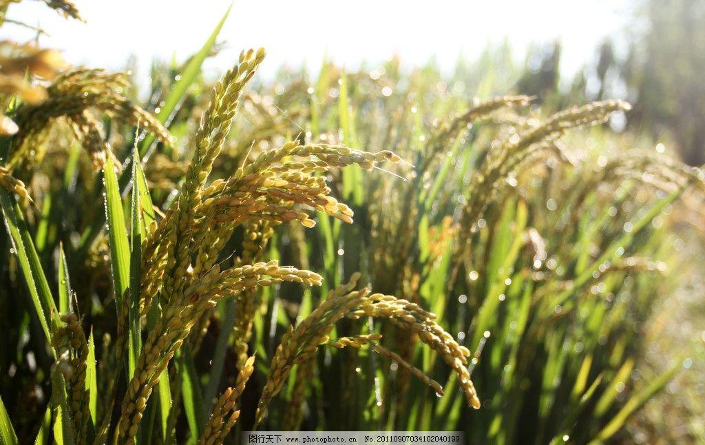 丰收的稻谷图片