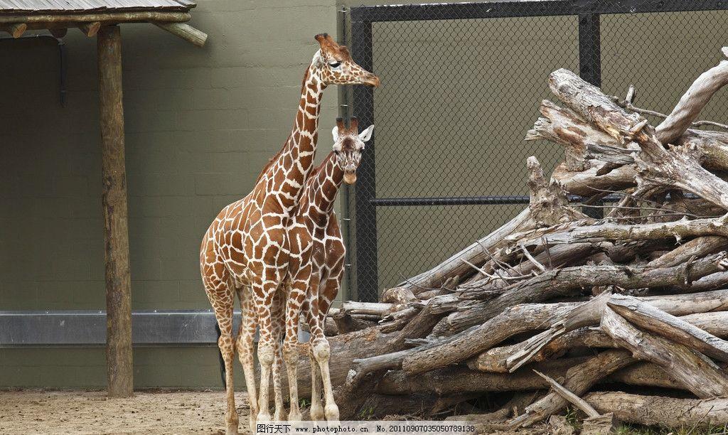 长颈鹿 木材 木头 生物世界 野生动物 摄影