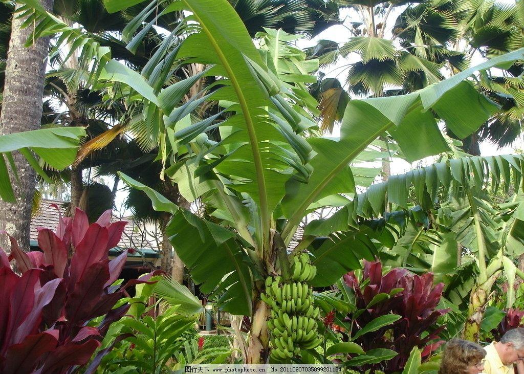 香蕉树 香蕉 热带植物 植物写真 树木树叶 生物世界 摄影 72dpi jpg