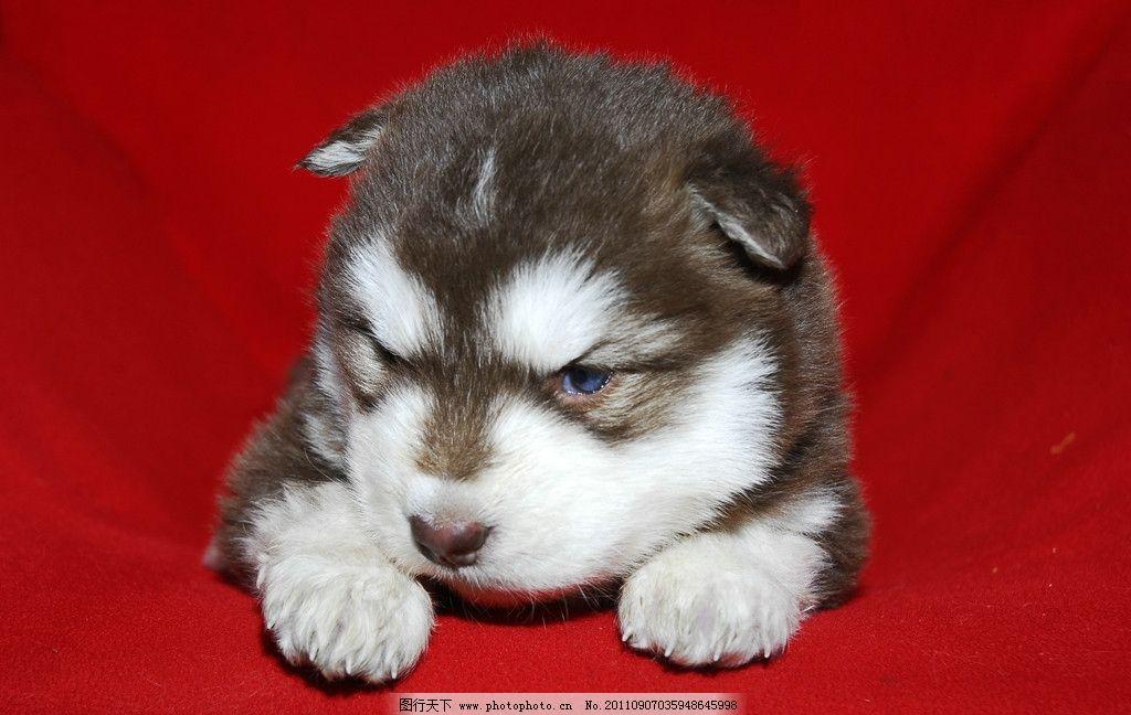 宠物狗 宠物 小狗 阿拉斯加 犬 赛级犬 幼犬 红阿拉斯加 可爱 家禽