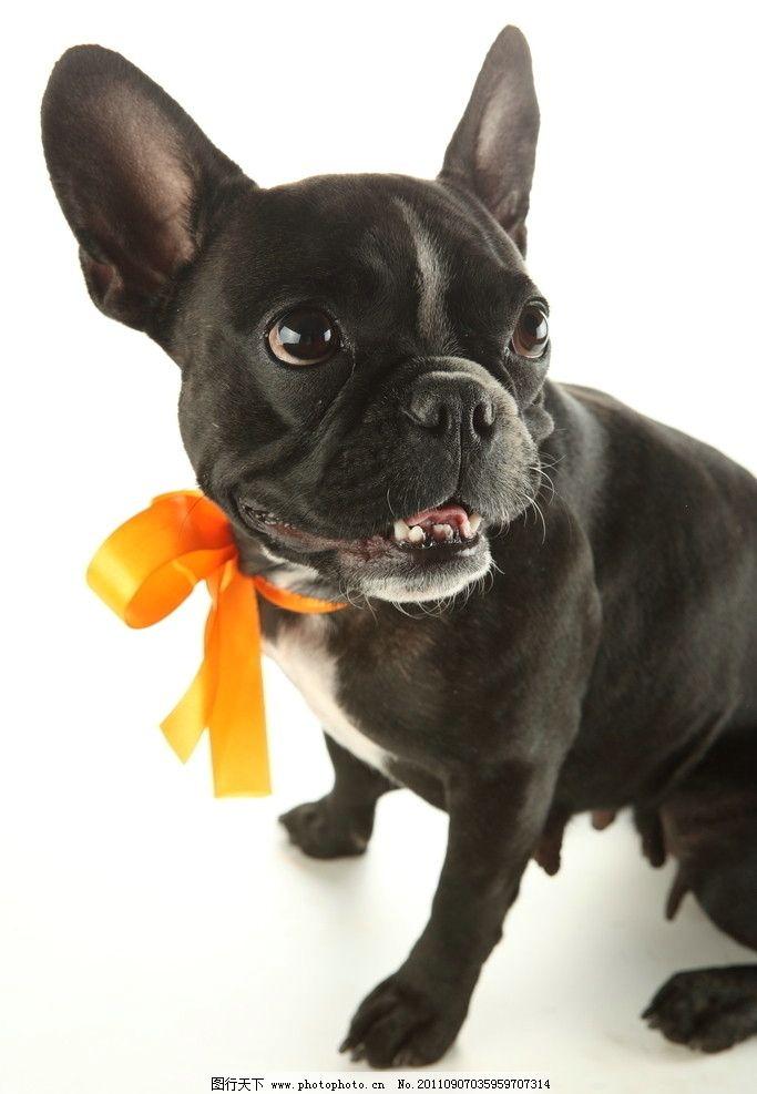 宠物狗 漂亮狗狗 宠物摄影 可爱狗狗