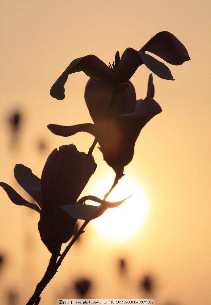 夕阳下的花朵图片