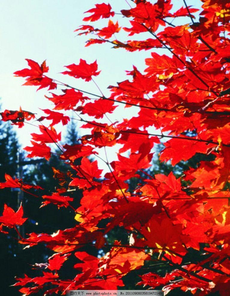 红枫叶 枫叶 树枝 树木 树木树叶 生物世界 摄影 150dpi jpg
