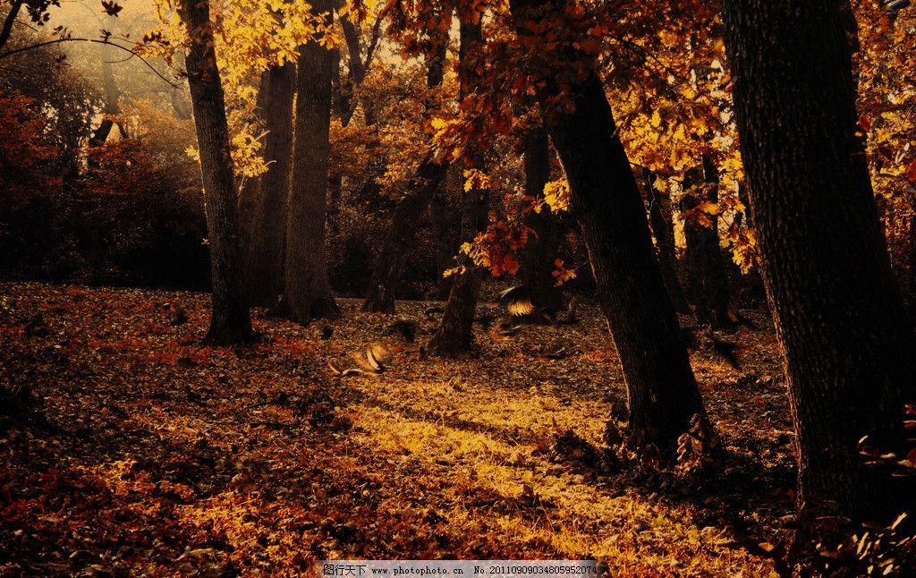 深秋 秋天 金黄 树木 森林 秋叶 落叶 树叶 秋景 自然风景 自然景观