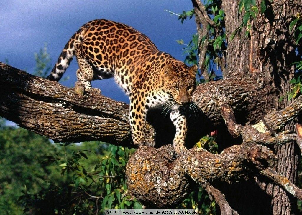 豹子 野生动物 野兽 凶猛 掠食 森林 狰狞 豹纹 金钱豹 最快的掠食者