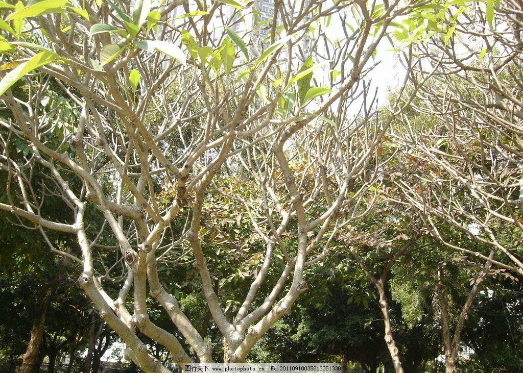 玉兰花树 园林 树木 摄影