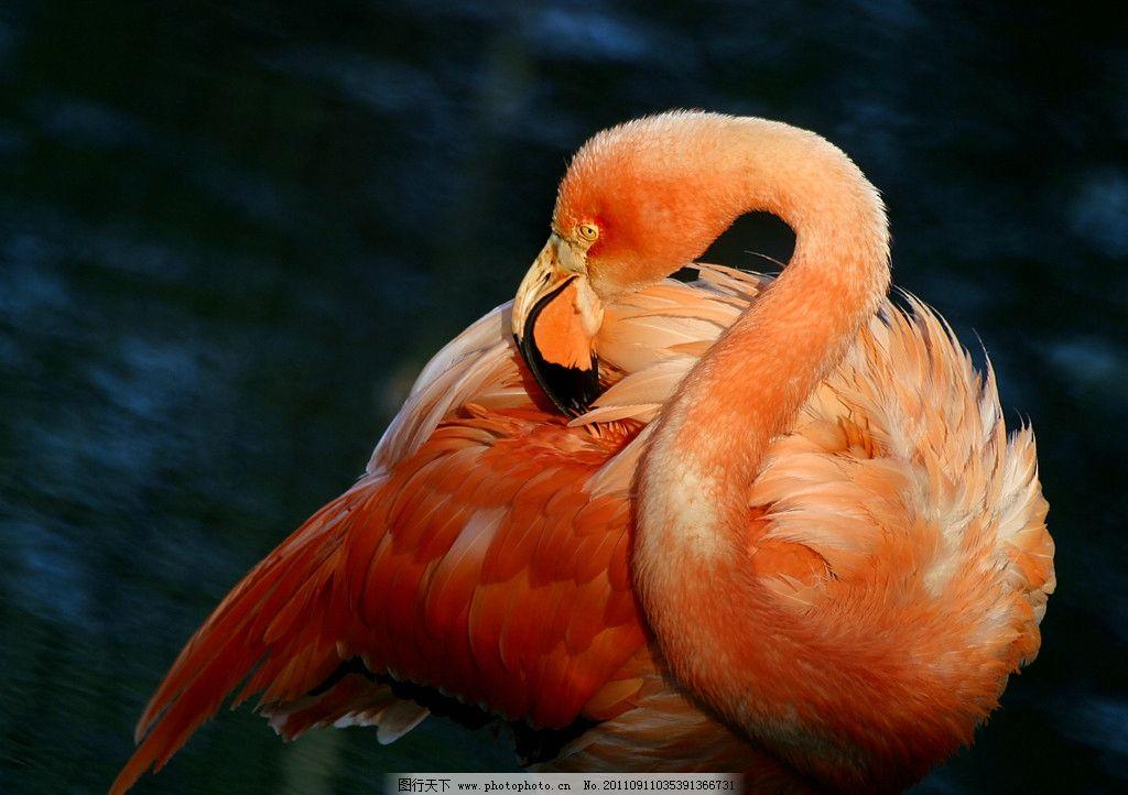 火烈鸟 动物 野生动物 摄影