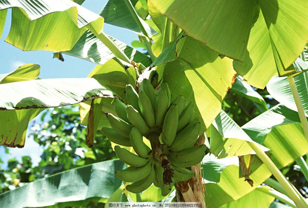 香蕉 田园果实 水果 香蕉树 田园果蔬 生物世界 摄影 350dpi jpg