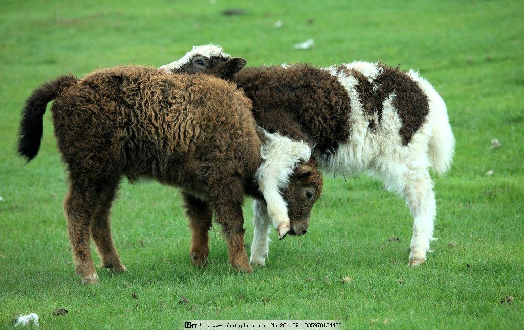 动物图片风景  小羊