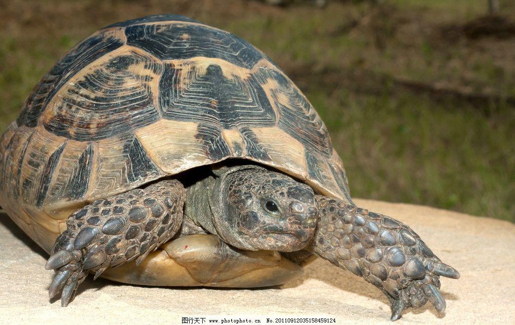 乌龟 野生动物 王八 海洋生物 生物世界 摄影 300dpi jpg