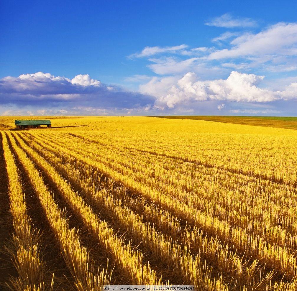 麦田 小麦 阳光 金黄色 麦穗 丰收 秋天 田园风光 自然景观 摄影 300