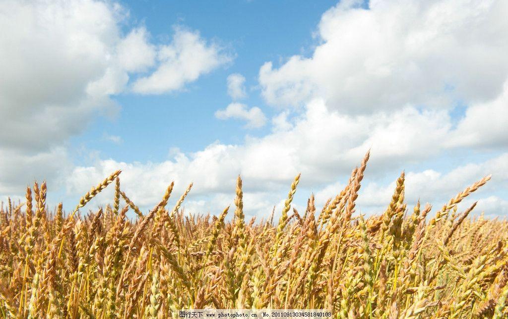 麦田 小麦 阳光 金黄色 麦穗 蓝天 丰收 秋天 田园风光 自然景观 摄影