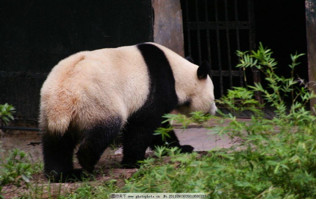 大熊猫 熊猫 笨熊 野生动物 生物世界 摄影 72dpi jpg