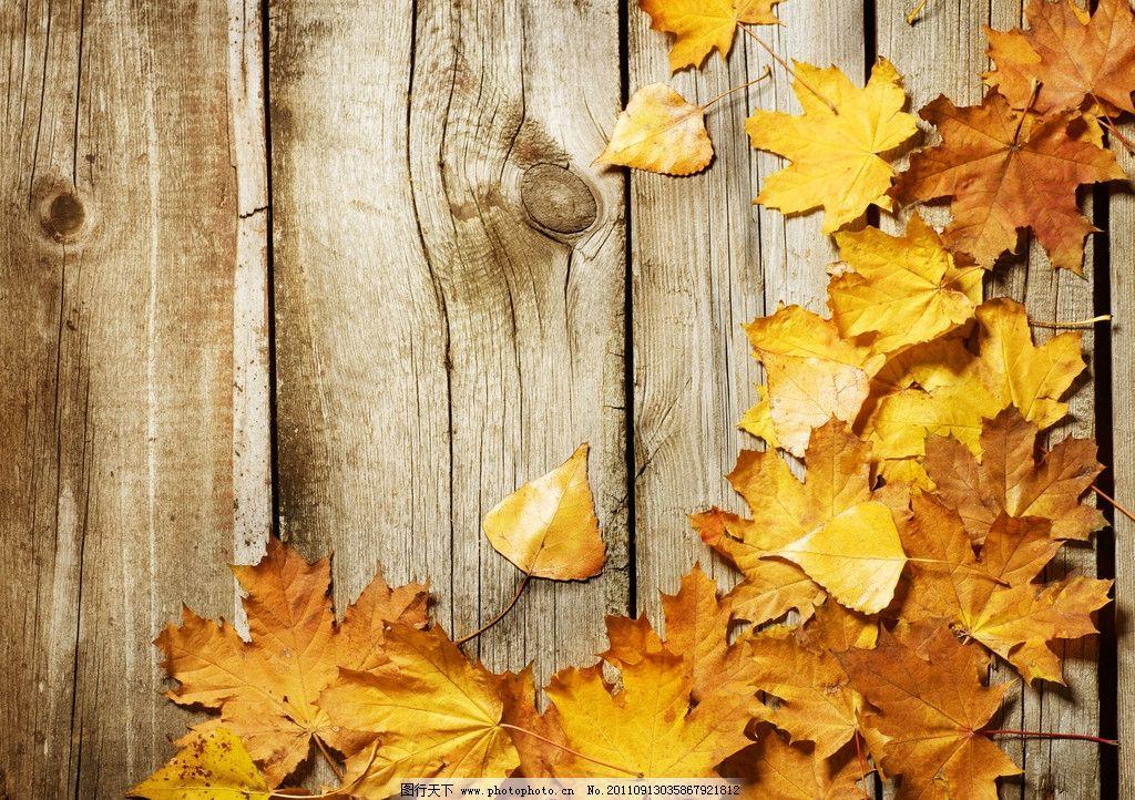 枫叶 木板 木纹 树叶 金黄的枫叶 落叶 树木树叶 生物世界 摄影 300