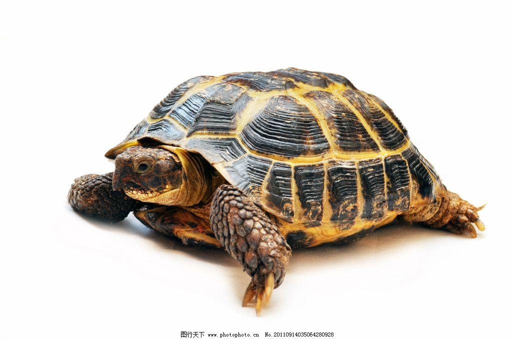 乌龟 爬行动物 野生动物 生物世界 摄影 300dpi jpg