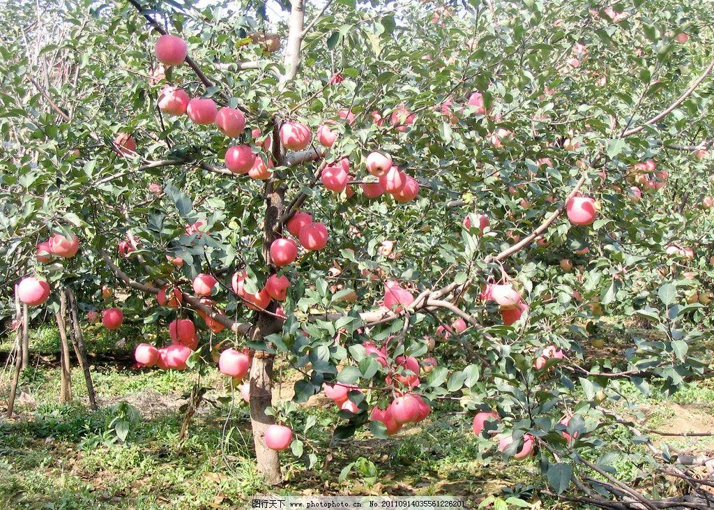 秋天的苹果树图片简笔画