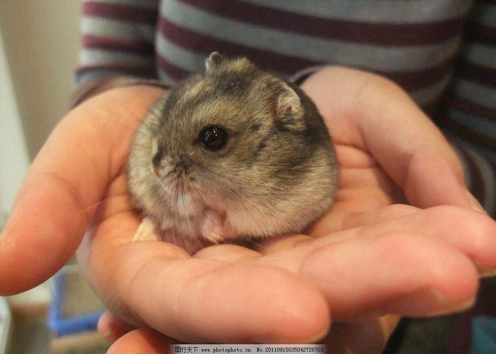 仓鼠 三线 老鼠 宠物 萌 可爱 野生动物 生物世界 摄影