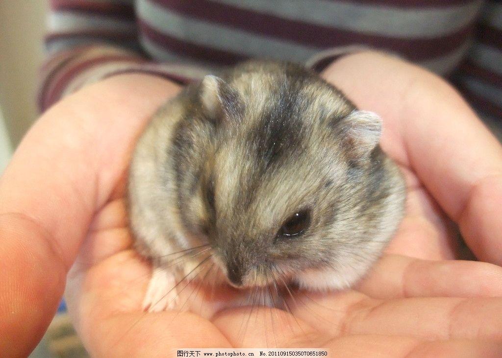 仓鼠 三线 老鼠 宠物 萌 可爱 野生动物 生物世界 摄影 72dpi jpg