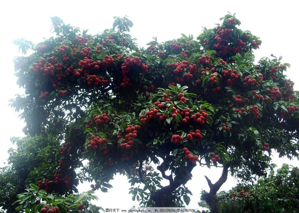 成熟的荔枝树 荔枝山 荔枝园 荔枝林 水果 生物世界 摄影